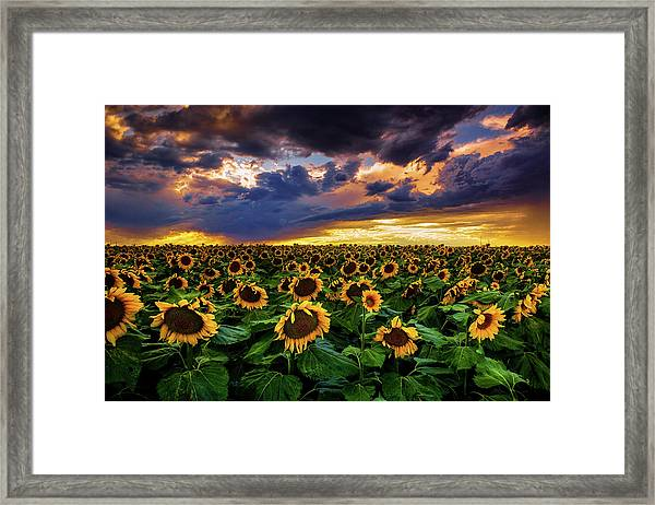 Colorado Sunflowers At Sunset Framed Print