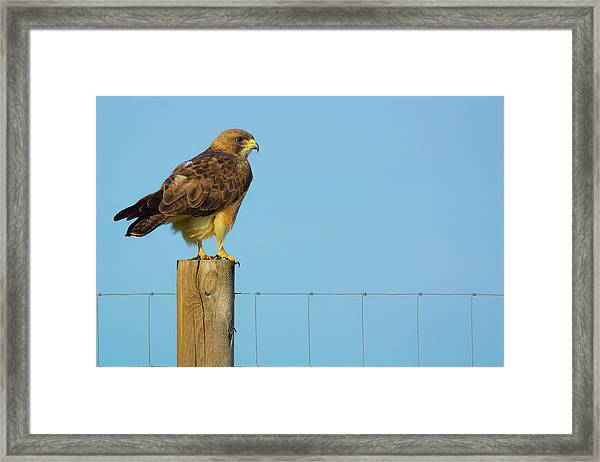 Framed Print featuring the photograph Colorado Swainson's Hawk Perched by John De Bord