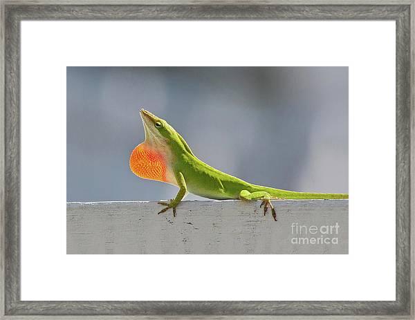 Colorful Carolina Anole Lizard Framed Print
