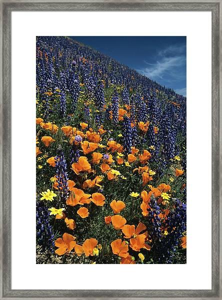 Colossal California Wildflowers Framed Print