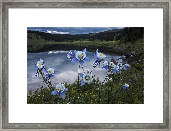 Columbine Blooms In The Rocky Mountains Framed Print