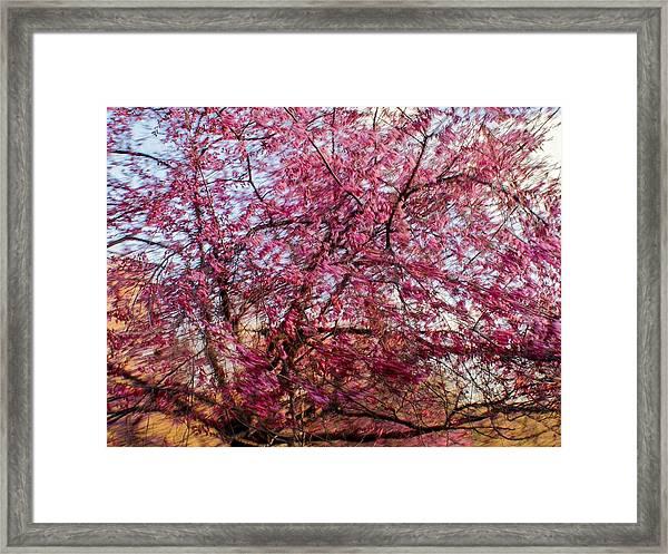 Columnar Sargent Cherry 1 Framed Print