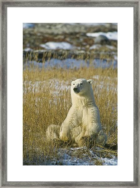 Comfortable Polar Bear Framed Print