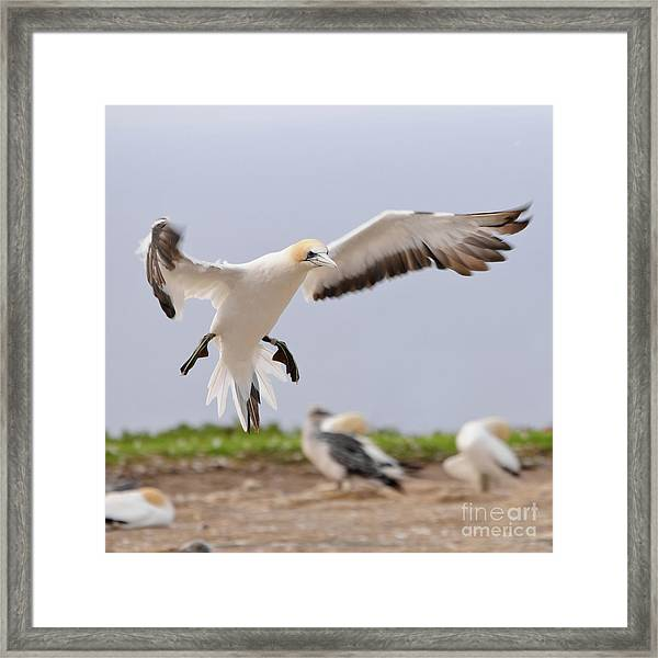 Coming In To Land Framed Print