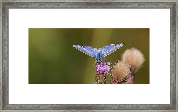 Common Blue Butterfly Framed Print