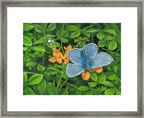 Common Blue On Bird's-foot Trefoil Framed Print