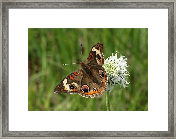 Common Buckeye Butterfly On Wildflower Framed Print