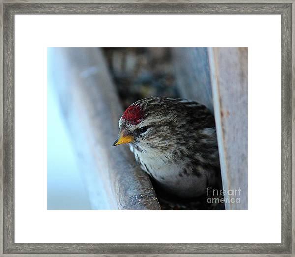 Common Redpoll Framed Print