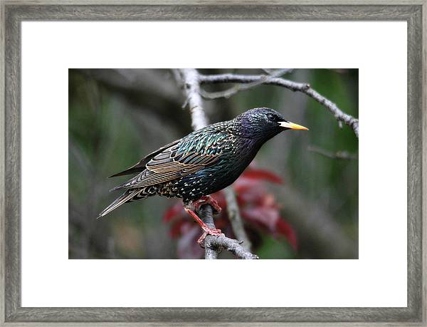 Common Starling Framed Print