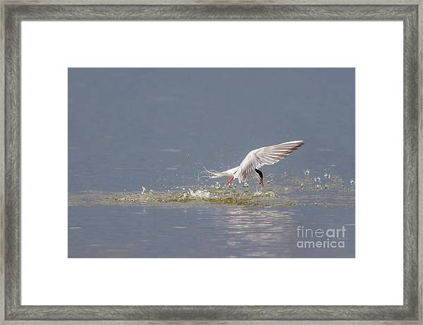Common Tern - Sterna Hirundo - Emerging From The Water With A Fish Framed Print