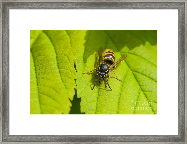 Common Wasp Framed Print
