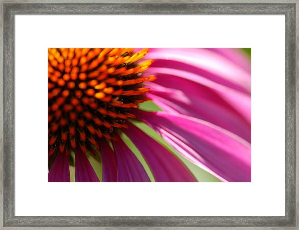 Cone Flower Framed Print by Scott Gould
