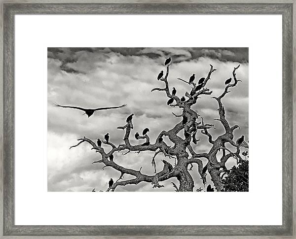 Congress Of Vultures Framed Print