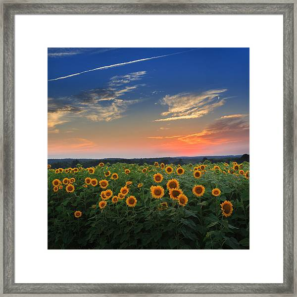 Connecticut Sunflowers In The Evening Framed Print