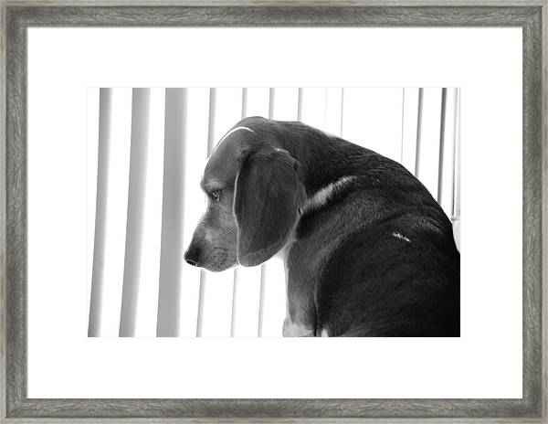 Contemplative Beagle Framed Print