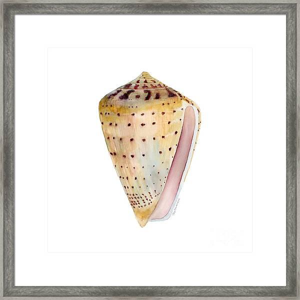 Conus Leopardus Shell Framed Print