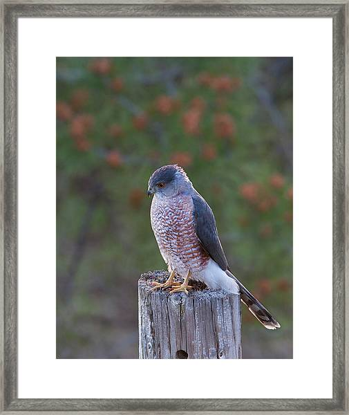 Coopers Hawk Perched Framed Print