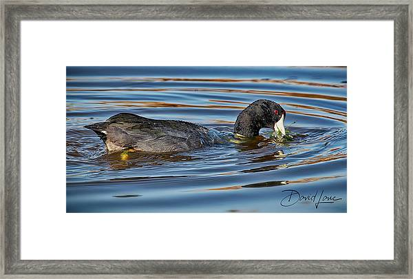 Framed Print featuring the photograph Coot Rings by David A Lane