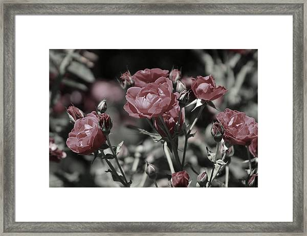 Copper Rouge Rose In Almost Black And White Framed Print