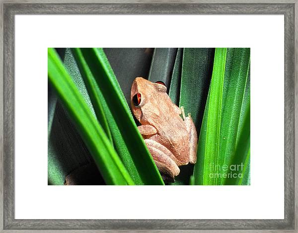 Coqui In Bromeliad Framed Print