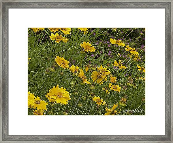 Coreopsis And Mexican Heather Framed Print