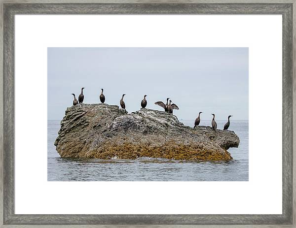 Cormorants On A Rock Framed Print