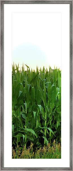 Corn Of July Framed Print