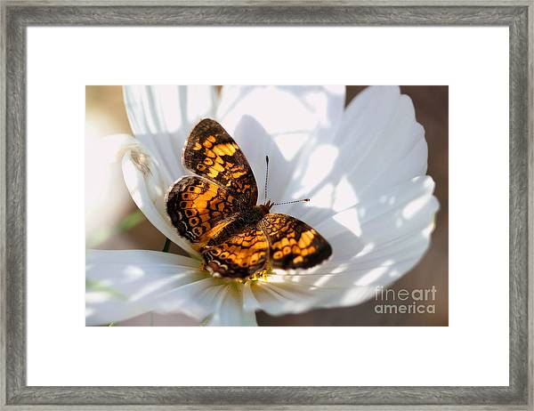Pearl Crescent Butterfly On White Cosmo Flower Framed Print