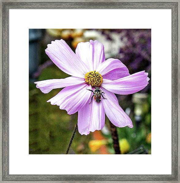 Cosmos And The Bee Framed Print
