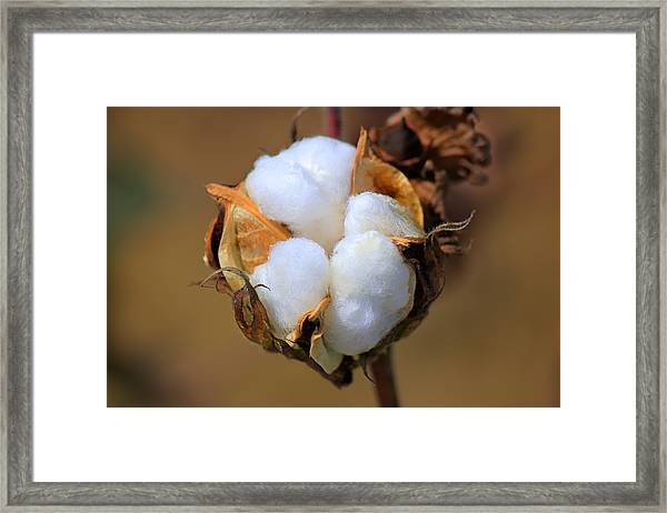 Cotton Boll Framed Print