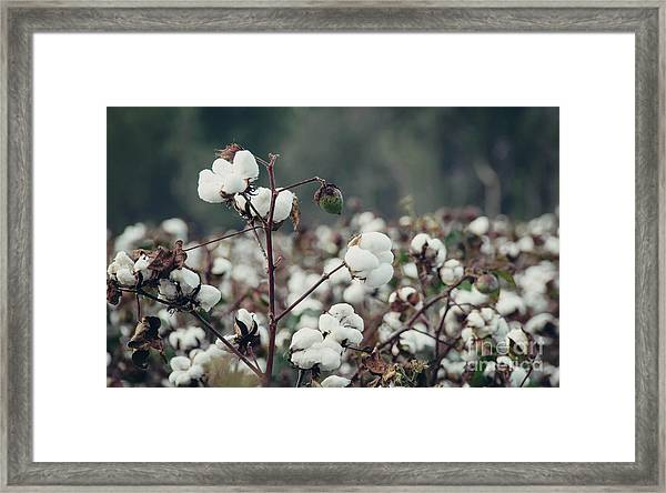 Cotton Field 5 Framed Print