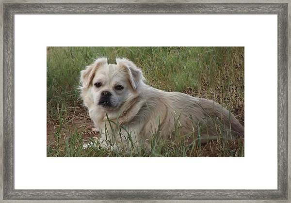 Cotton In The Grass Framed Print
