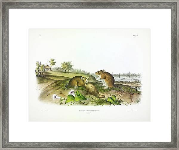 Cotton Rat Framed Print