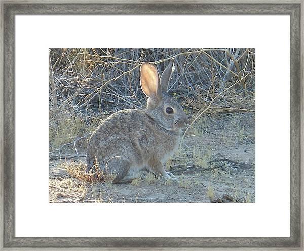 Cottontail Rabbit Morning Light Framed Print