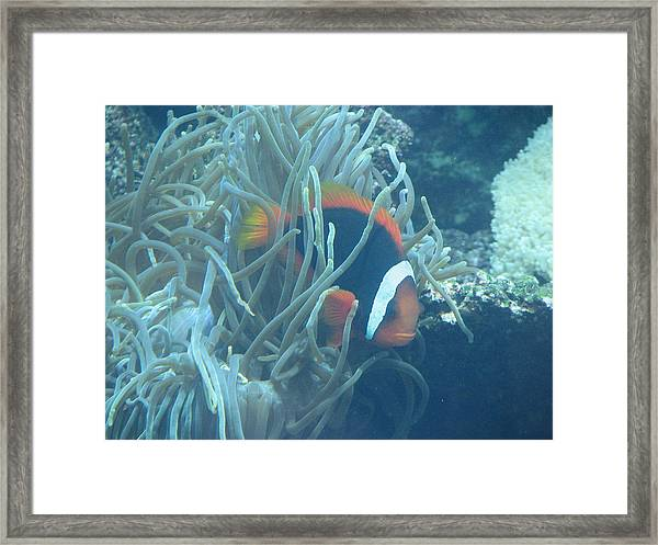 Cousin Of Nemo Framed Print by April Camenisch