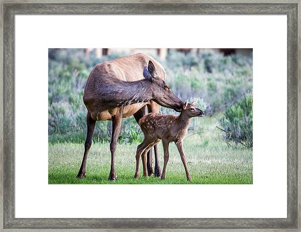 Cow And Calf Elk Framed Print