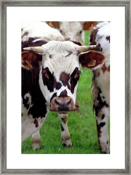 Cow Closeup Framed Print