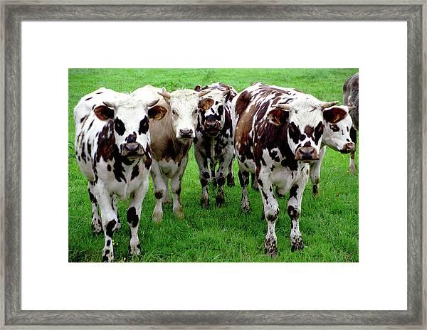 Cow Group Framed Print