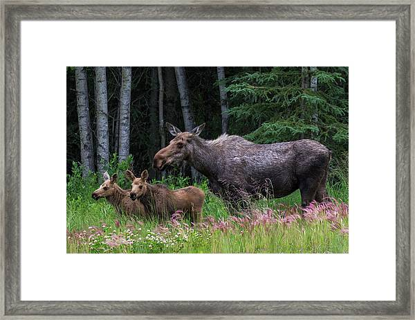 Cow Moose And Twin Calves Framed Print