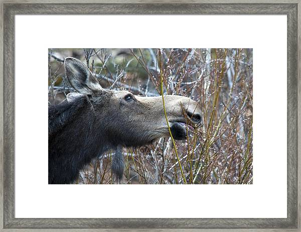 Cow Moose Dining On Willow Framed Print