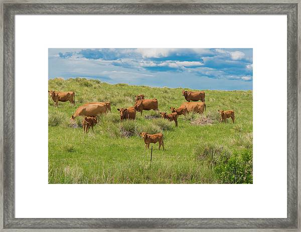 Cows In Field 1 Framed Print