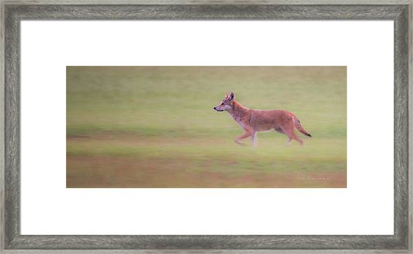 Coyote 0313 Framed Print