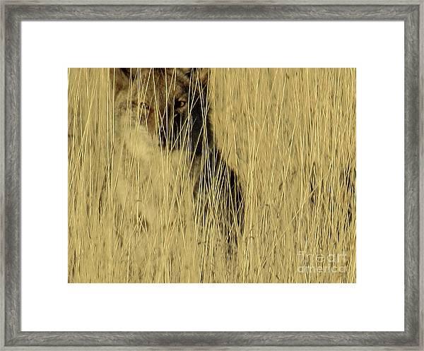 Coyote 3 Framed Print