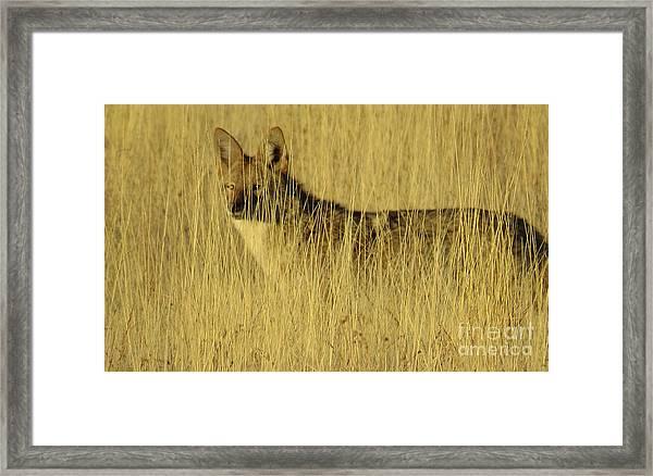 Coyote 4 Framed Print
