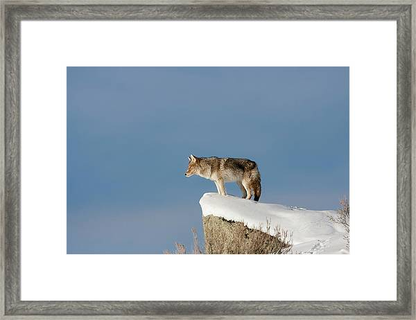 Coyote At Overlook Framed Print
