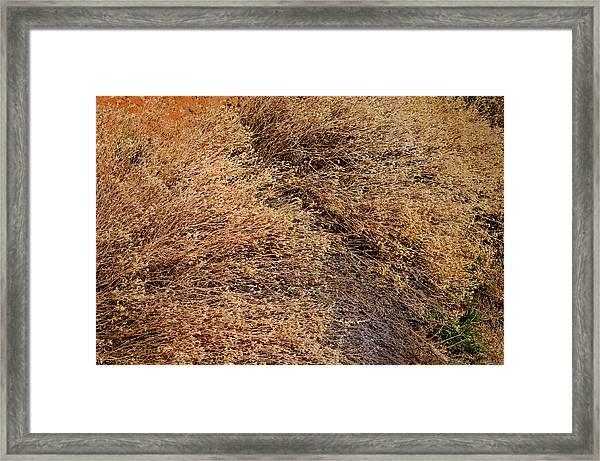Coyote Brush Framed Print