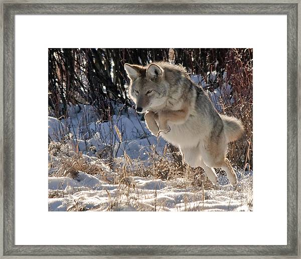 Coyote In Mid Jump Framed Print