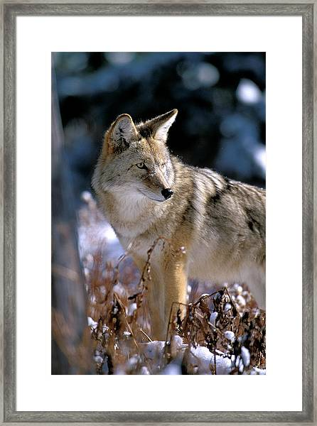 Coyote In Winter Light Framed Print