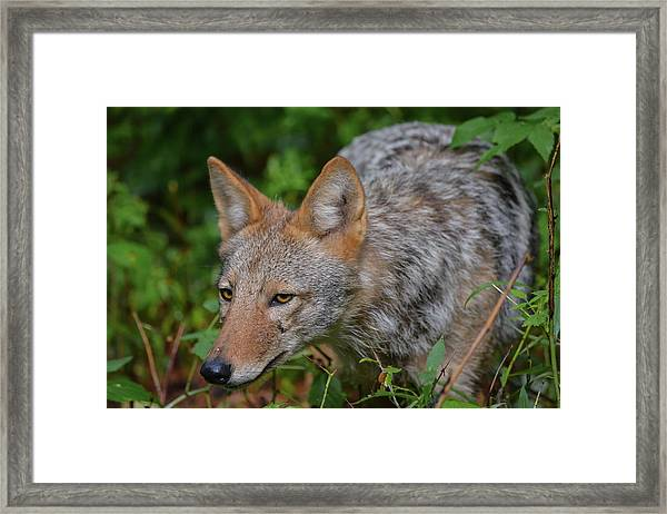Coyote On The Hunt Framed Print