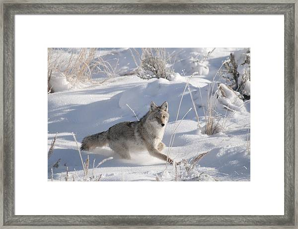 Coyote On The Move Framed Print